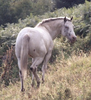 Etalons appaloosas Pict277